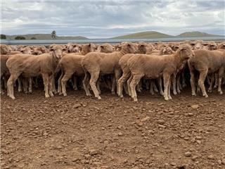 210 Future Breeder Ewe Hoggets