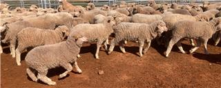 750 Store Wether Lambs