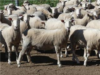 200 NSM Ewes