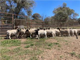 64 Wether Lambs
