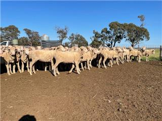 288 Wether Hoggets & Lambs