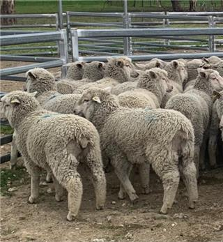 50 Store Wether Lambs