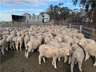 115 Woolgrower Wether Lambs