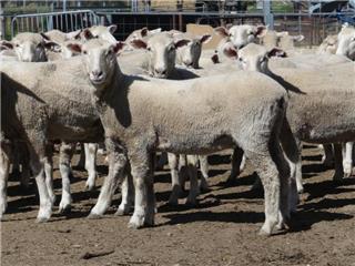 150 NSM Ewes