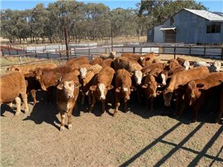 34 Steers