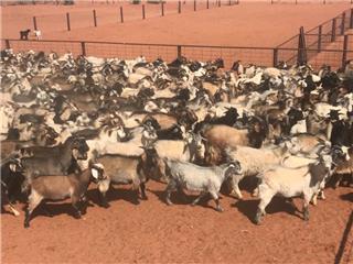 480 Goats - Bucks