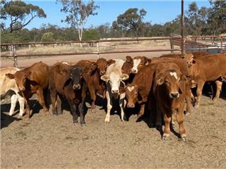 19 Backgrounder Steers