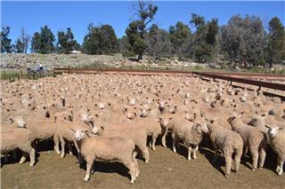 430 Mixed Sex Store Lambs