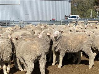 380 Wether Lambs