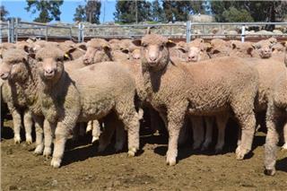 270 Mixed Sex Store Lambs