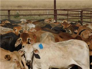 90 Backgrounder Steers