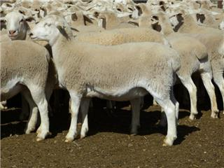 166 Station Mated Ewe Lambs