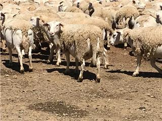 200 Scanned Empty Ewes