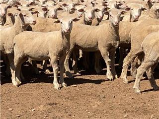 240 Mixed Sex Store Lambs