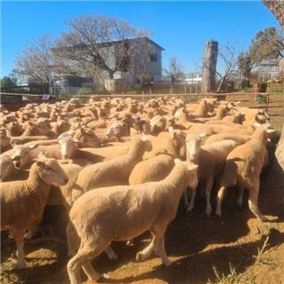 125 Future Breeder Ewe Lambs