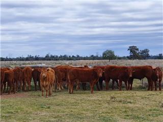 26 Weaned Steers