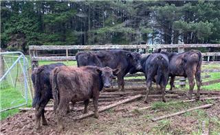 5 Steer Calves