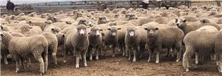334 Mixed Sex Lambs