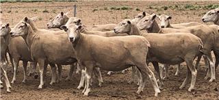 121 NSM Ewes