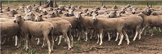 173 NSM Ewes