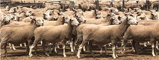 131 NSM Ewes