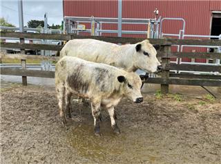 1 PTIC Cows & 1 Calves
