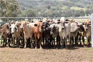 49 Station Mated Cows & 49 Calves