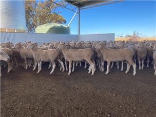 260 NSM Ewes