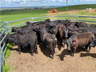 28 NSM Heifers & 28 Calves