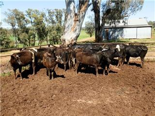 15 PTIC Heifers