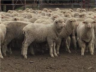 315 Store Wether Lambs