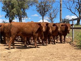 64 Feeder Steers