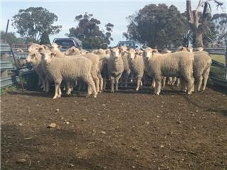 180 Future Breeder Ewe Lambs