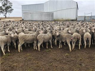 690 Future Breeder Ewe Hoggets