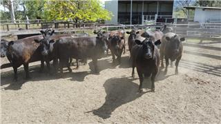 10 PTIC Heifers