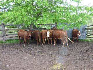 9 PTIC Heifers