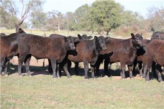 59 Unweaned Steers