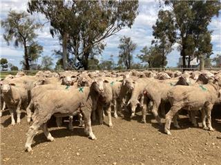 210 NSM Ewes