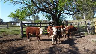6 PTIC Heifers