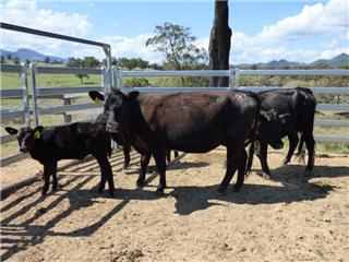 2 NSM Heifers & 2 Calves