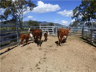 2 NSM Cows & 2 Calves