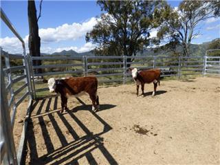 2 Weaned Heifers