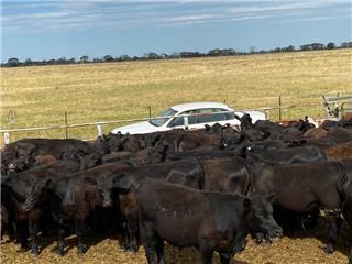 88 Feeder Steers