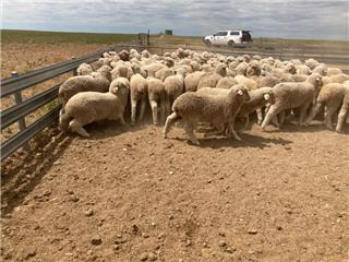 161 Woolgrower Wether Lambs