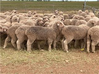 155 Future Breeder Ewe Lambs