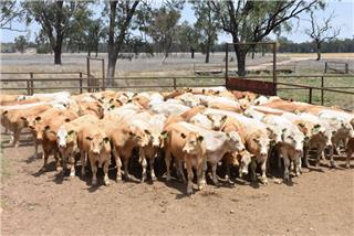 102 Backgrounder Steers