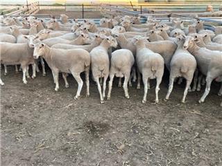 73 Ewes