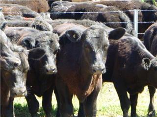 23 Steers