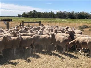 75 Ewes