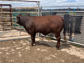 1 Herd Bull